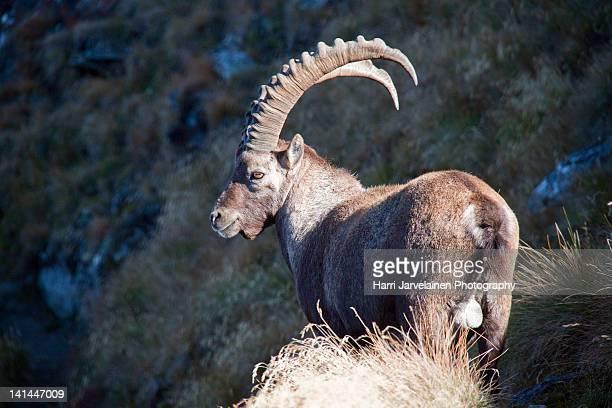 Alpine ibex in Swiss Alps