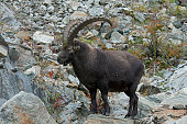 Alpine ibex in the Italian Alps Gran Paradiso National Park Italy