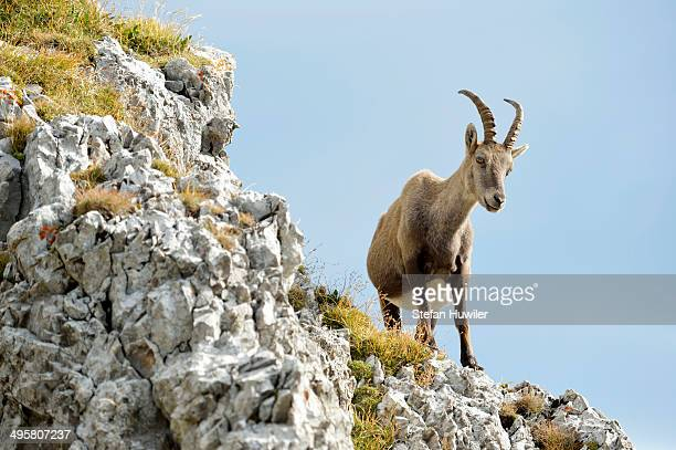 Alpine Ibex or Steinbock -Capra ibex- standing on a ledge, Canton of Lucerne, Switzerland