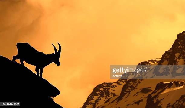 Alpine ibex silhouetted against Alpenglow on mountain at sunset Alps
