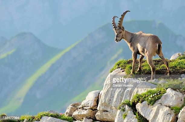 Alpine ibex (Capra ibex), standing on rock ledge