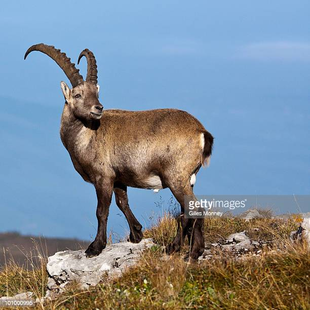 alpine ibex standing on top  of mountain