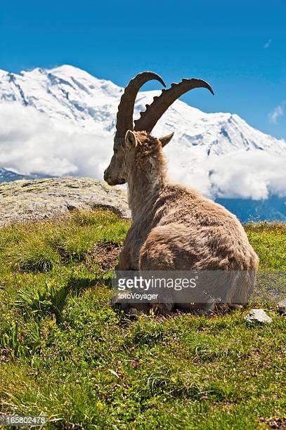 Bouquetin des Alpes été Prairie de montagne de neige du Mont-Blanc en France