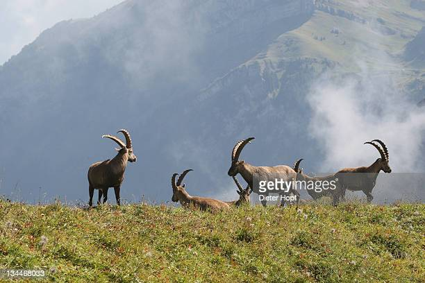 Alpine ibex (Capra ibex), Toggenburg, Canton St. Gallen, Switzerland, Europe