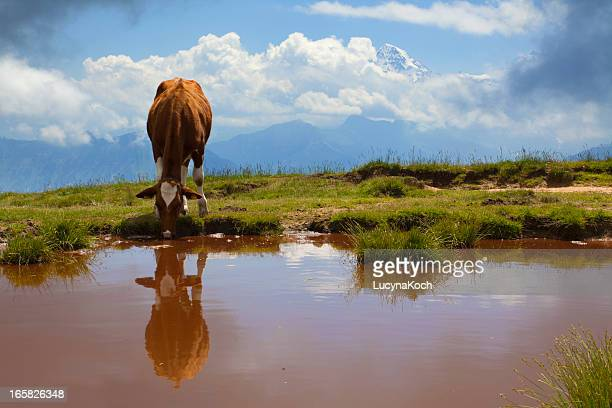 Alpine lake with drinking cow