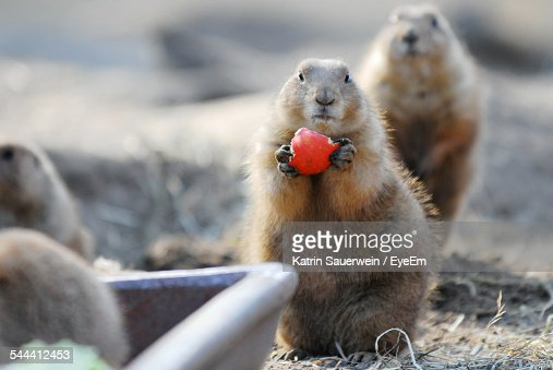 Alpine Marmot Holding Red Fruit On Field