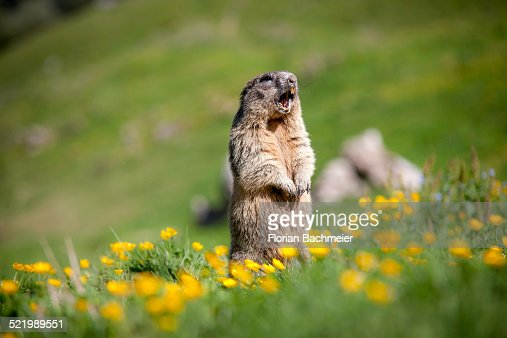 Alpine Marmot -Marmota marmota-, Rotwand area, Kleintiefental Valley, Schliersee, Upper Bavaria, Bavaria, Germany