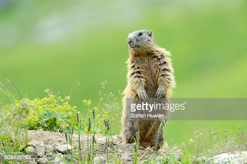 Alpine Marmot -Marmota marmota-, standing on its hind legs and observing its surroundings, Grisons, Switzerland, Europe