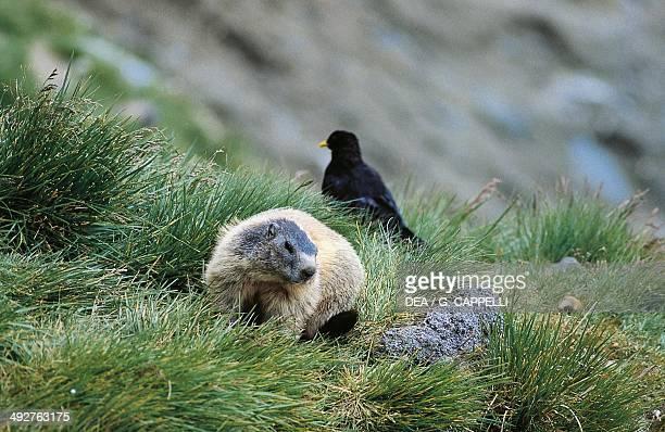Alpine marmot Sciuridae Alpine chough Corvidae Hohe Tauern National Park Austria