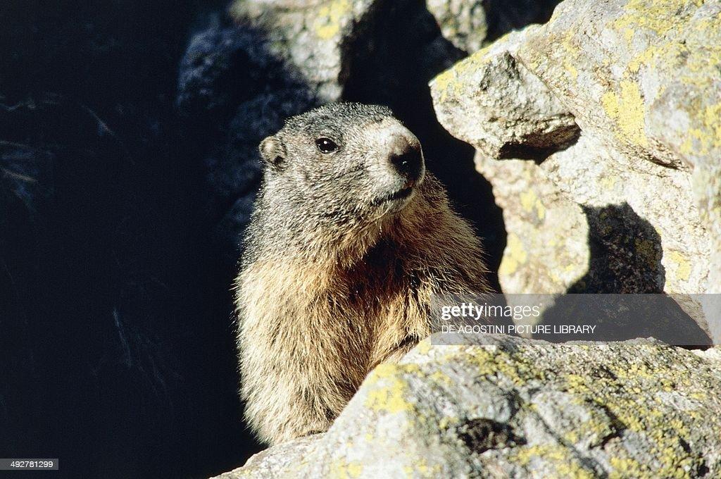 Alpine marmot (Marmota marmota), Sciuridae, Belluno Dolomites, Veneto, Italy.