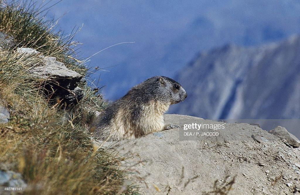 Alpine marmot (Marmota marmota), Sciuridae, Gran Paradiso National Park, Aosta Valley, Italy.