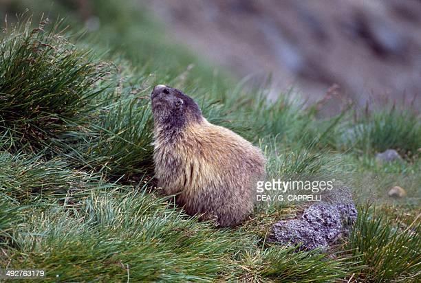 Alpine marmot Sciuridae Hohe Tauern National Park Austria