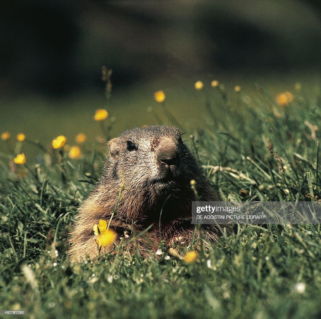 Alpine marmot (Marmota marmota), Sciuridae.