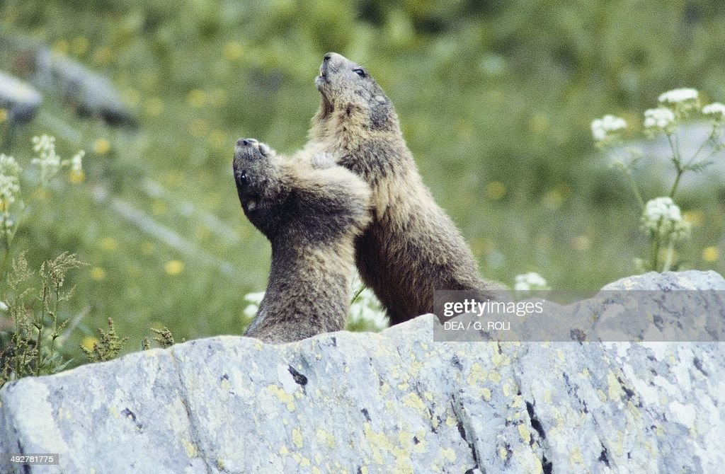 Alpine marmot (Marmota marmota), Sciuridae, Valley of Marvels, Alpes-Maritimes, France.