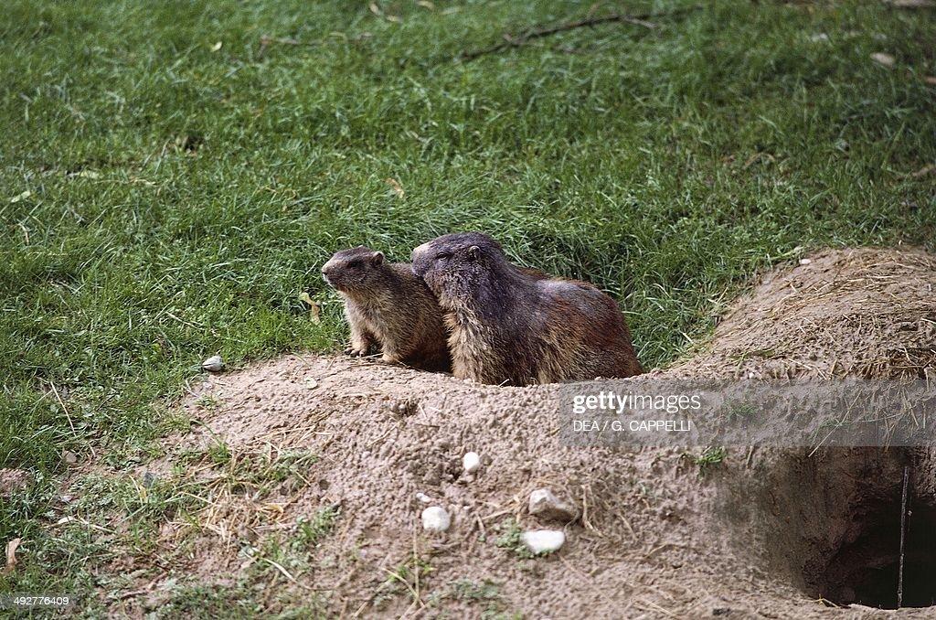 Alpine marmot with young (Marmota marmota), Sciuridae.