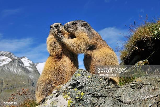 Alpine Marmots, Marmota marmota
