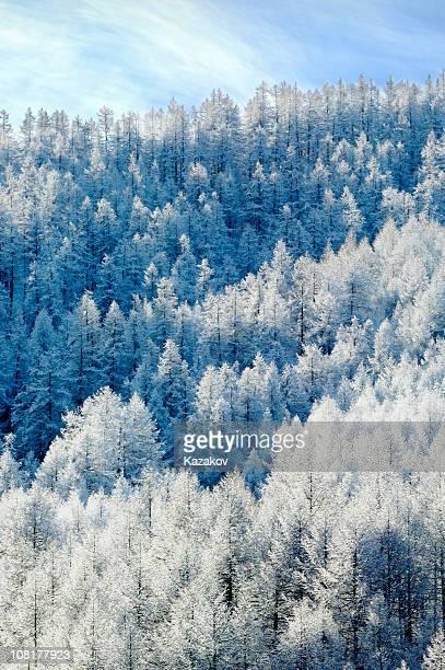Alpine pines recouverte de givre blanc.