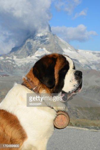 Alpine Saint Bernard Dog