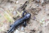 An alpine salamander (Salamandra atra), an endemic amphibian species in the Alps-