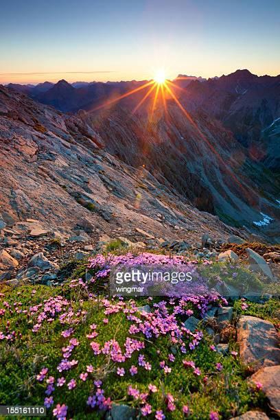 alpine sunrise avec fleurs au premier plan