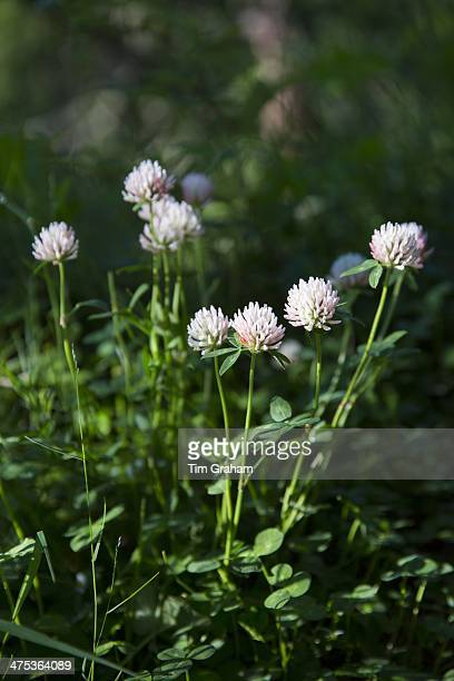 Alpine wildflowers Alpine Clover Trifolium dasyphyllum in the Swiss Alps near Zermatt Switzerland