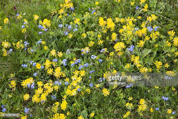 Alpine wildflowers ForgetMeNot Myosotis alpestris and Mountain Cowslip Primula auriculata Swiss Alps meadow Switzerland