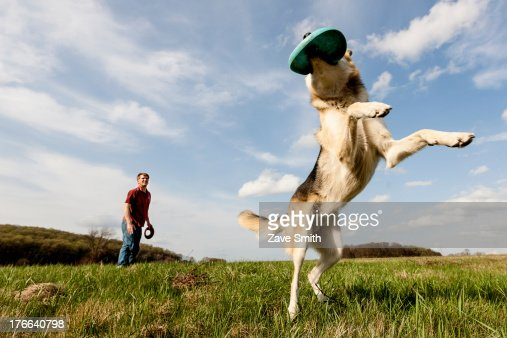 Alsatian dog catching frisbee : Stock Photo