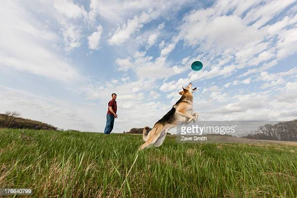 Alsatian dog jumping to catch frisbee