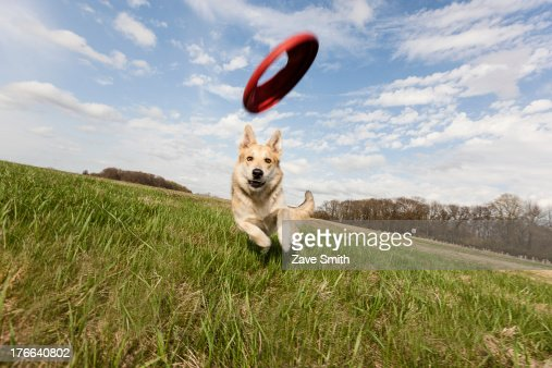 Alsatian dog running through field to catch frisbee