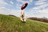 Alsatian dog running through field to catch frisbee