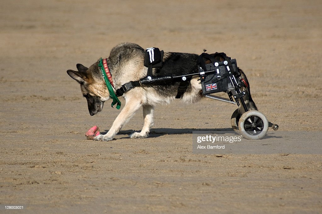 Alsation dog on beach : Stock Photo
