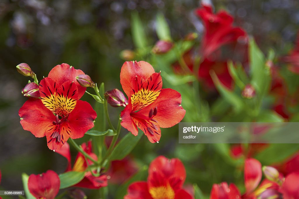 Alstroemeria : Stock Photo