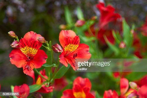 Alstroemeria : Stock Photo