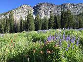 Wildflowers in the high mountain meadows of Alta, Utah.