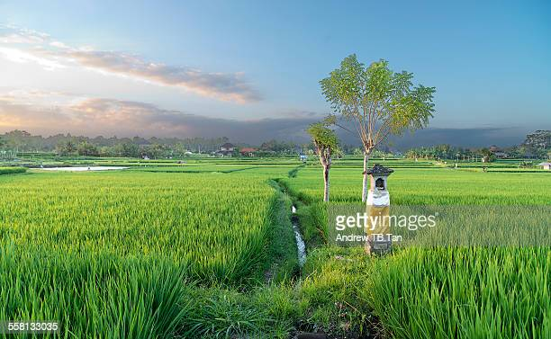 Altar in paddy field, Bali