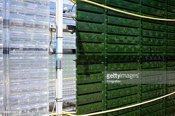 Energía alternativa: Producción de micro alga para regenerativo fuente de alimentación.