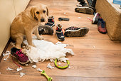 Cute puppy with diaper and shoes at home, she makes mess