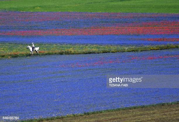 Aman rides a horse in the middle of flowers in bloom including lentil fields and poppies near Castelluccio a small village in central Italys Umbria...