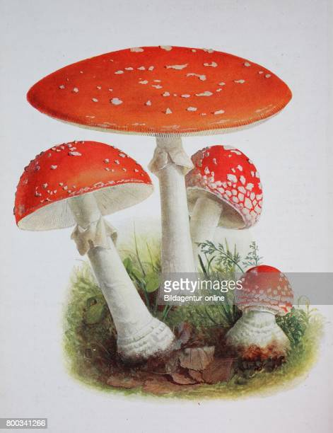 Amanita muscaria commonly known as the fly agaric or fly amanita digital reproduction of an ilustration of Emil Doerstling