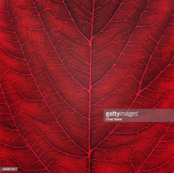 Amaranth leaf (Amaranthus tricolour), detail