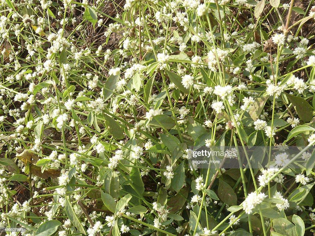 Amaranthaceae, Alternanthera sessilis, : Stock Photo
