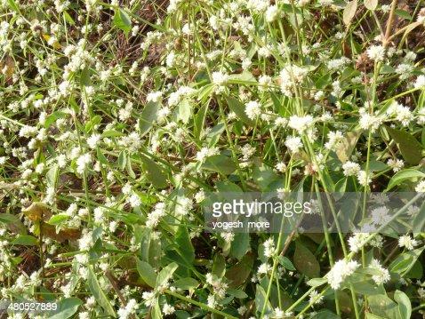 Amaranthaceae, Alternanthera sessilis, : Stockfoto