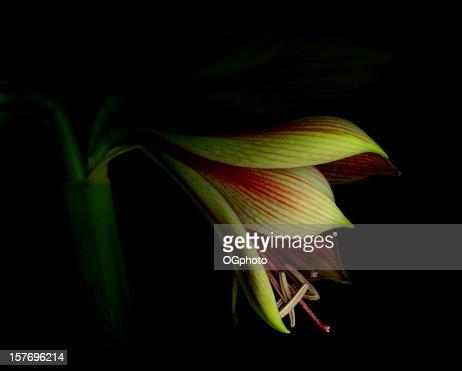 Amaryllis bloom begins to open