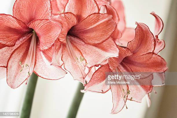 Amaryllis flower pattern
