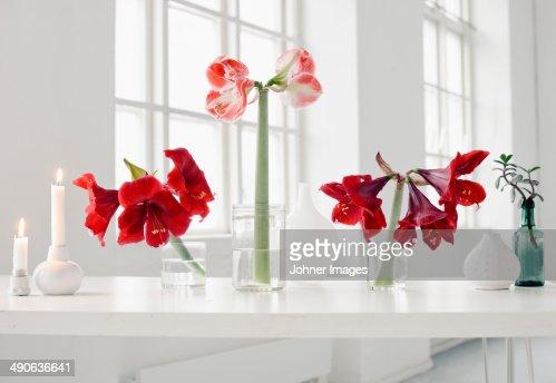 Amarilis fotograf as e im genes de stock getty images for Amarilis decoration