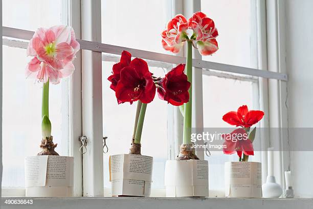 Amaryllis flowers on windowsill