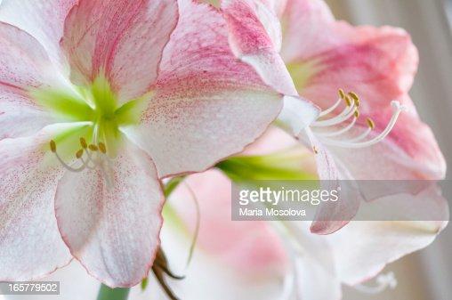 Amaryllis Houseplant in Bloom