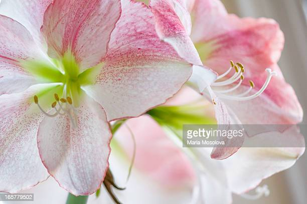 Amaryllis Houseplant in Bloom