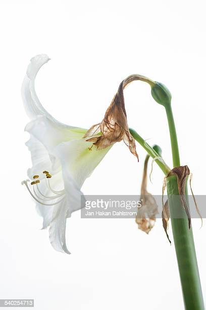 Amaryllis on white background