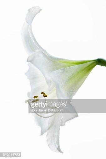 Amaryllis on white background